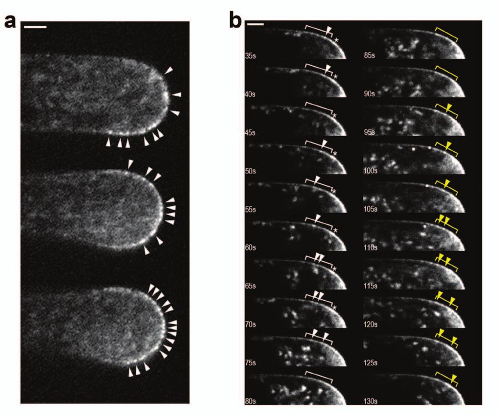 Figure S3 Polarized EYFP-CSLD3 localizes into discrete regions of fluorescence that are motile in the tips of root hair cells.