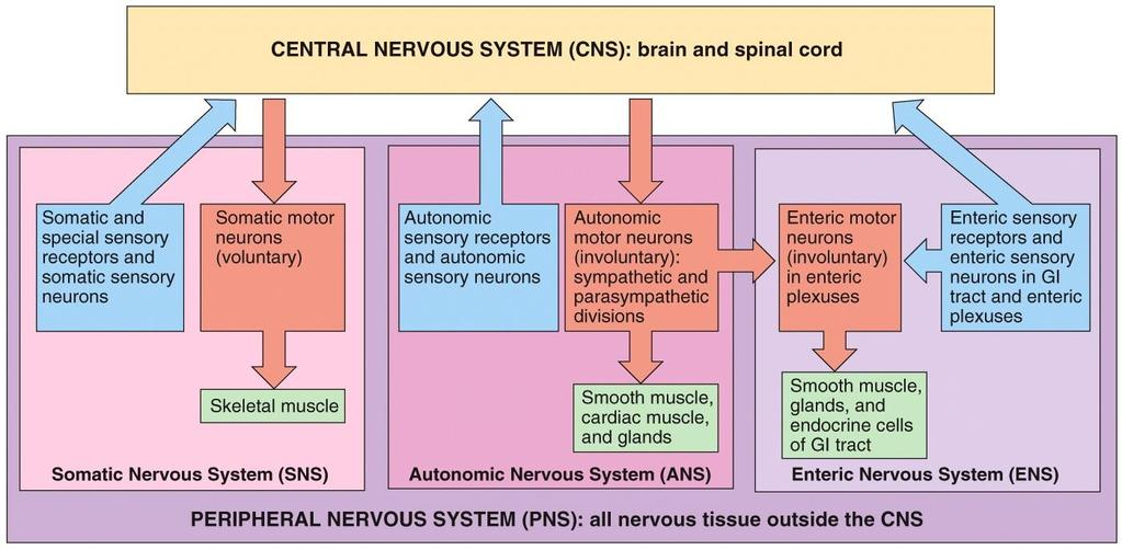 ORGANIZATION OF THE NERVOUS SYSTEM Sensory component of the PNS Motor component of PNS