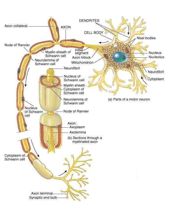AXONS o Structure: only one per cell body; long, thin cylindrical process of cell; arises at axon hillock; impulses arise from initial segment (trigger zone) and are propagated via node of Ranvier;