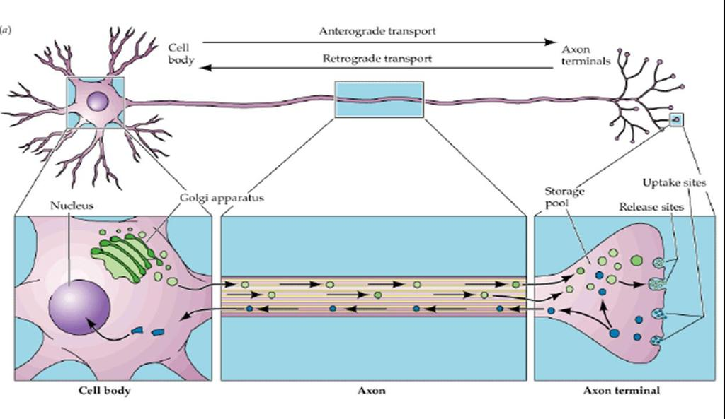 AXONAL TRANSPORT Notice movement of vesicles.