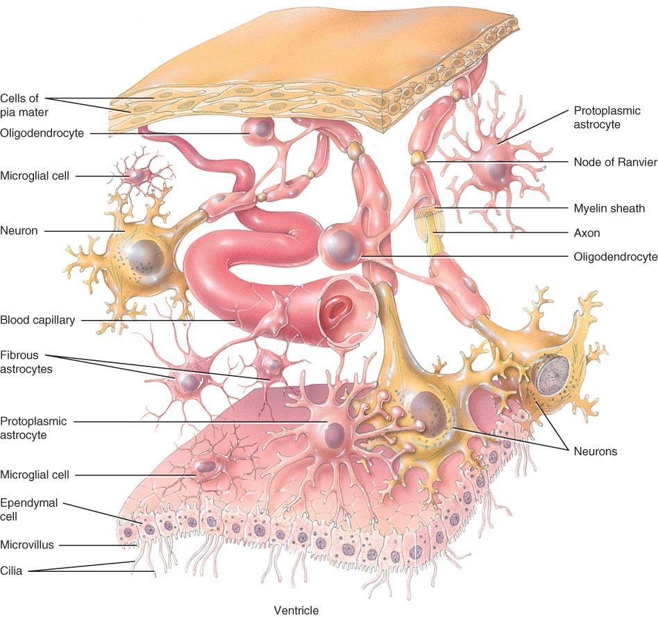 cells tissue organ NEUROGLIA o Structure: Smaller cells than neurons; half of the volume of the CNS; 50x more numerous; undergo mitosis (tumour formation); 6 types: 1.
