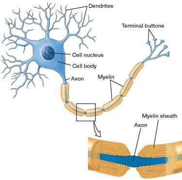 MYELINATION o Structure: multilayered lipid and protein covering called the myelin sheath and produced by Schwann cells and oligodendrocytes surrounds the axons