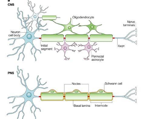 NODE OF RANVIER o Structure: gaps in axon myelin