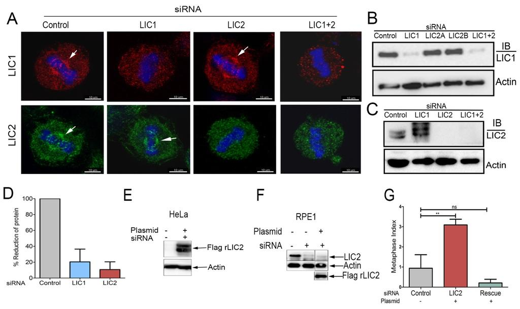 Supplementary figures and legends Supplementary figure S1 Supplementary figure S1: Characterization and specificity of antibodies and protein depletions A) Confocal immunofluorescence images of HeLa