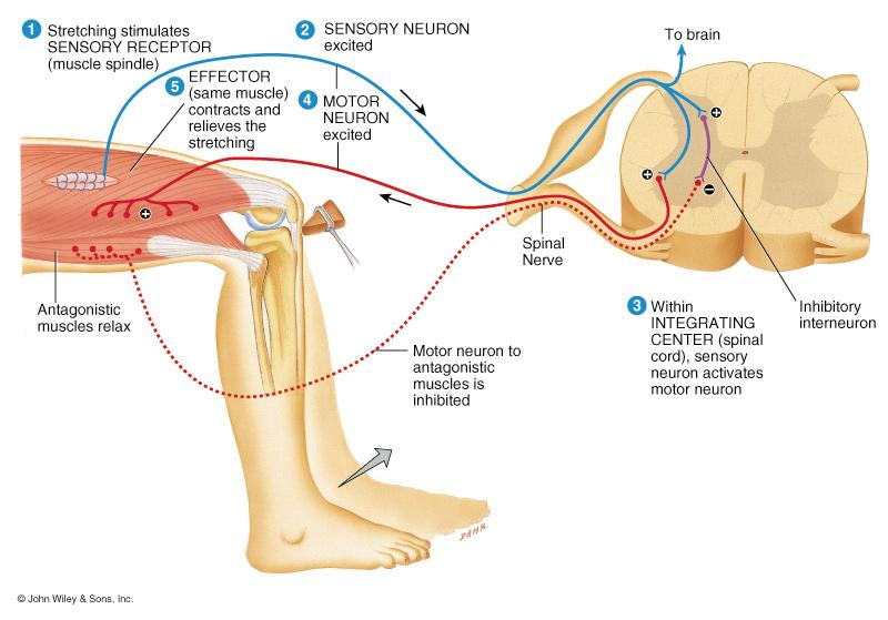heart rate, respiration, digestion, urination, etc Note: cranial reflexes involve cranial nerves Reflex Arc Specific nerve impulse pathway 5 components of reflex arc receptor sensory neuron