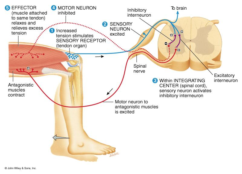 Stretch Reflex Monosynaptic,ipsilateral reflex arc Prevents injury from over stretching because muscle contracts when it is stretched Events of stretch reflex muscle spindle signals stretch of muscle