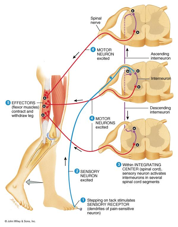 Flexor (withdrawal) Reflex Crossed Extensor Reflex Step on tack (pain fibers send signal to spinal cord Interneurons branch to different spinal cord segments Motor fibers in several segments are