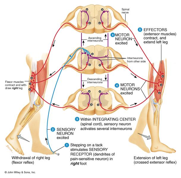 Contralateral extensor muscles are stimulated by interneurons to hold up the body weight Reciprocal innervation when extensors contract flexors relax, etc 19 Connective Tissue Coverings of the Spinal