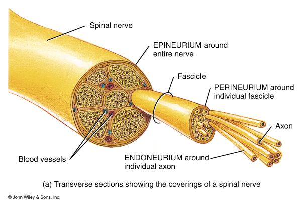 superficial covering around the whole nerve Endoneurium - around individual nerve fibers - Fascicles - a bundle of axons/nerve fibers Perineurium - around fascicles Epineurium - the superficial
