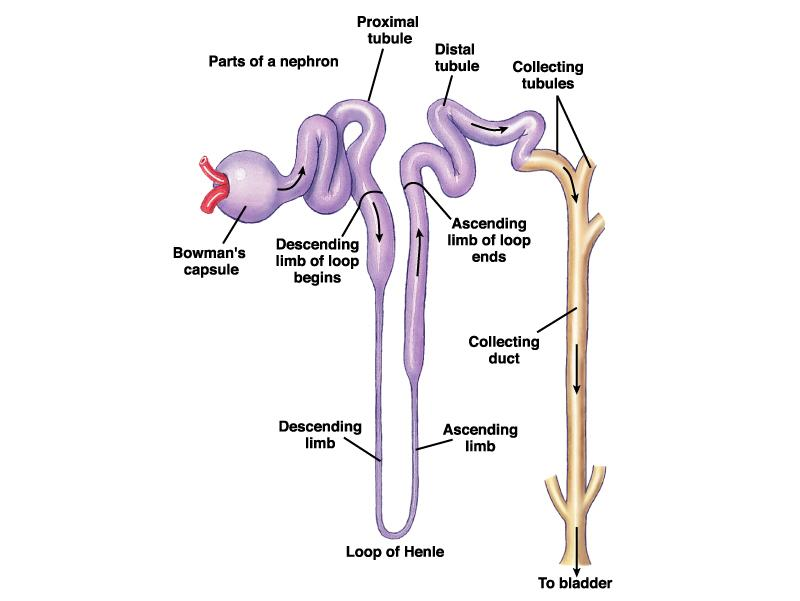 Nephron Anatomy Bowman s Capsule always located in cortex Proximal Convoluted Tubule always located in cortex Loop of Henle (dips into medulla)