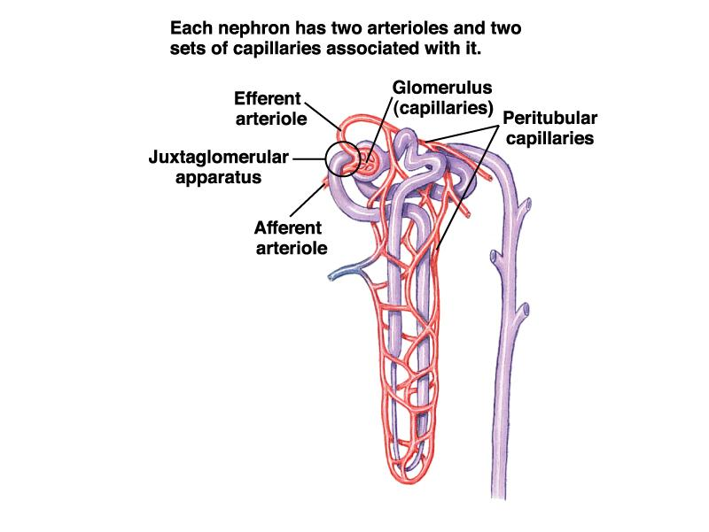 Nephron Blood Supply Afferent arteriole enters Bowman s capsule Glomerulus capillary network within Bowman s capsule Efferent
