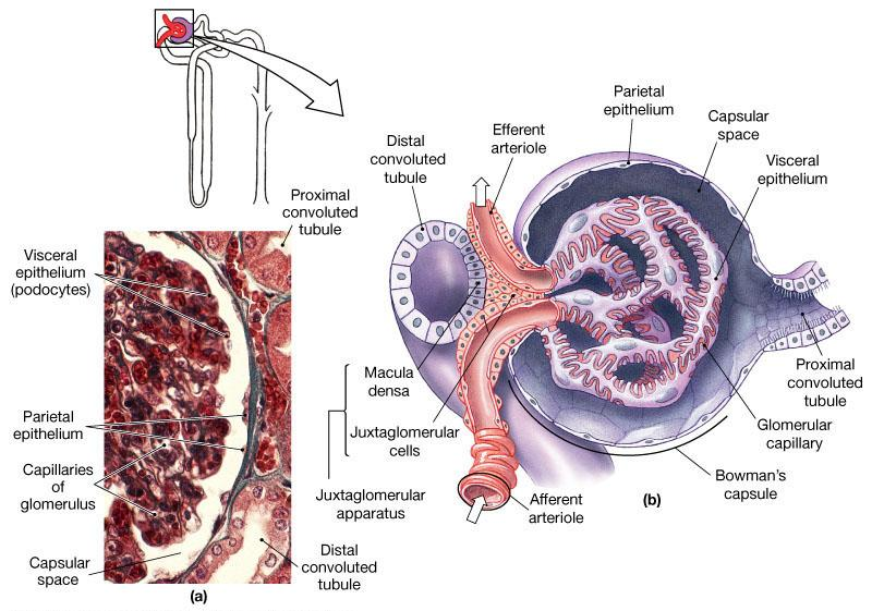 RENAL PHYSIOLOGY Glomerular Filtration Filtration process that occurs in Bowman s Capsule, driven by hydrostatic pressure of blood system ( aka BP) Blood is filtered and the filtrate ends up in the