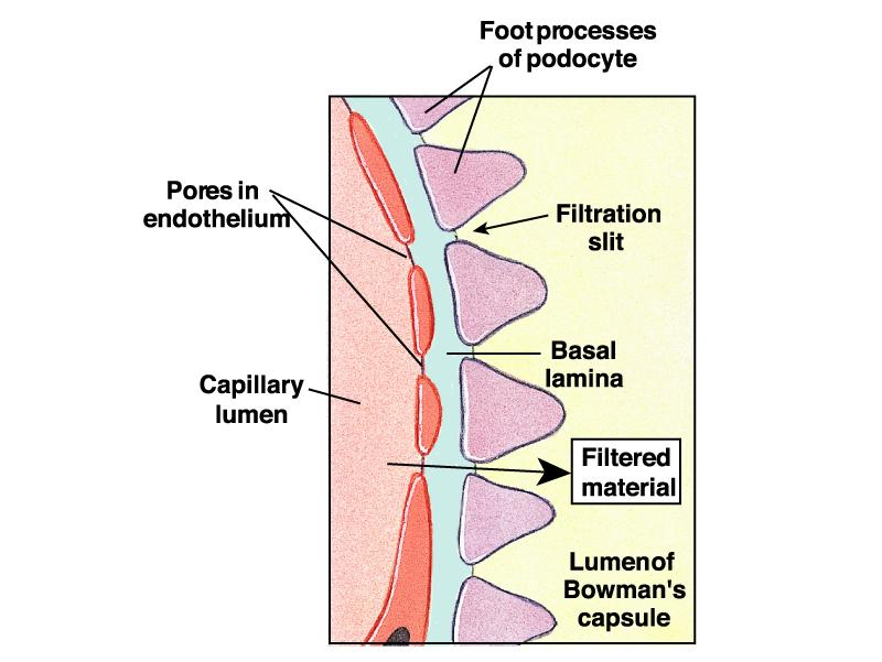 37 Microscopic Anatomy of Bowman s Capsule Filtration System in Bowman s capsule Capillary endothelial cells have many