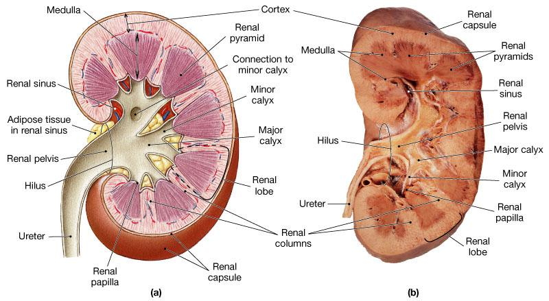 Kidney Anatomy The medulla consists of 6-18 triangular shaped renal pyramid Renal columns are bands of cortical tissue that separates adjacent pyramids Tip of each pyramid (renal papilla) projects