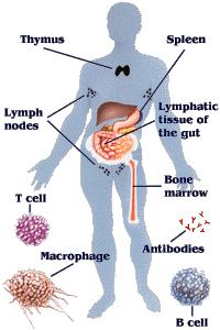Immune System So how do our bodies fight germs.
