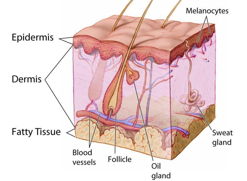 Skin The bodies has several layers The outer layers of the skin are tough and dead.