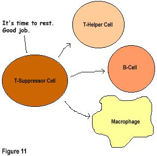 Immune Response Step 7 T-suppressor cells will tell the immune system to rest once the infectious agents decrease.