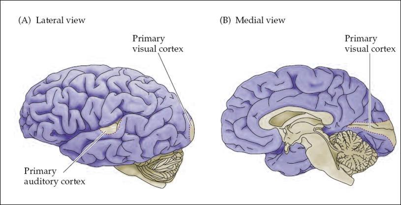 III. Connection and Circuits Basal ganglia receive from almost all parts of the cortex (neocortex and paleocortex); Rostral part of cortex rostral part of Basal ganglia Caudate (more involved with