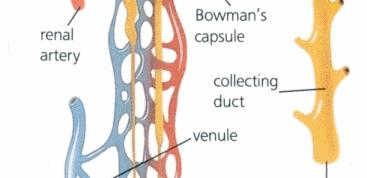 tubule & collecting duct Nephron Function (4 stages)