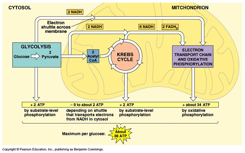 9.2 The Krebs Cycle and
