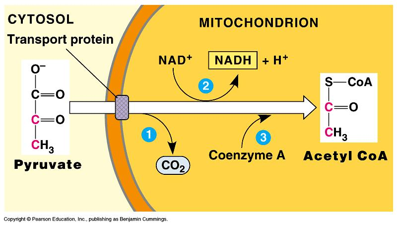 The Krebs Cycle Pyruvate enters the Krebs cycle - looses 1 C -