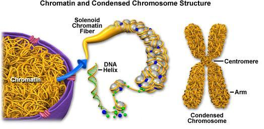 DNA DNA is located in the nucleus and controls all cell activities including cell division Long and thread-like DNA in a non-dividing