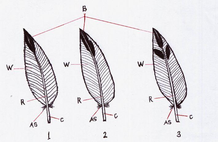 In HSU, back feather was varied in colour: greyish brown (95,71%) and greyish black (4,29%), and in HST, back feather was varied in colour almost finding greyish brown.