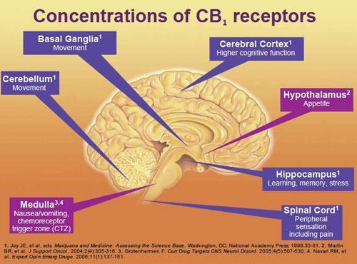 (CTZ) Cerebral Cortex Higher cognitive functioning Hypothalamus Appetite- metabolic