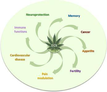 MOLECULAR SIGNALING SYSTEM ECS The ECS helps us: EAT SLEEP RELAX PROTECT FORGET Vincenzo Di Marzo, PhD, 1998 ENDOCANNABINOID SYSTEM Runner s high thought to be from the release of endorphins.