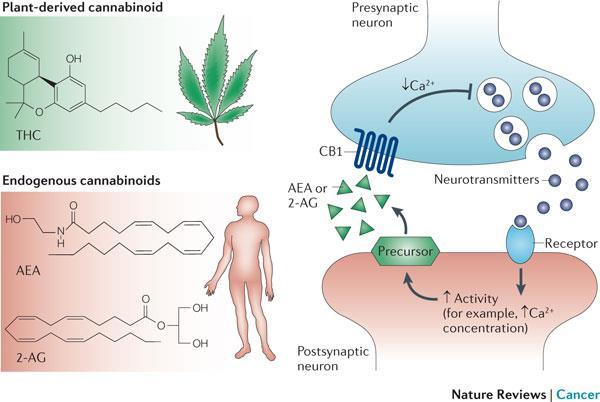 Pharmacology of Cannabis - Phyto-cannabinoids(plant derived) bind to and activate cannabinoid receptors - After activation, post-synaptic