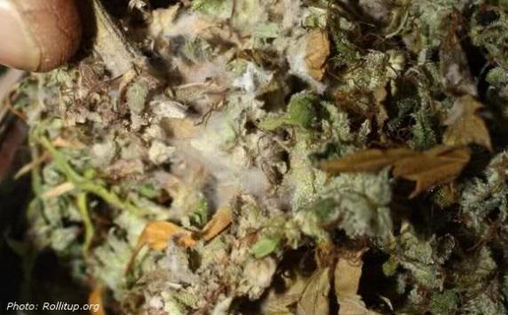 Safety Concerns: Dried Cannabis & Infection -bacteria & mold can affect cannabis during processing -directly inhaled with smoking or vaping -risk of