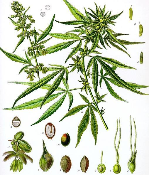 A Brief History of Cannabis -genus: Cannabis -species: sativa(common), indica(common), ruderalis(uncommon) -cannabis contains a number of