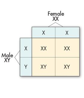 Sex Chromosomes This Punnett square illustrates why males and females are born in a roughly 50 : 50 ratio. All human egg cells carry a single X chromosome (23,X).
