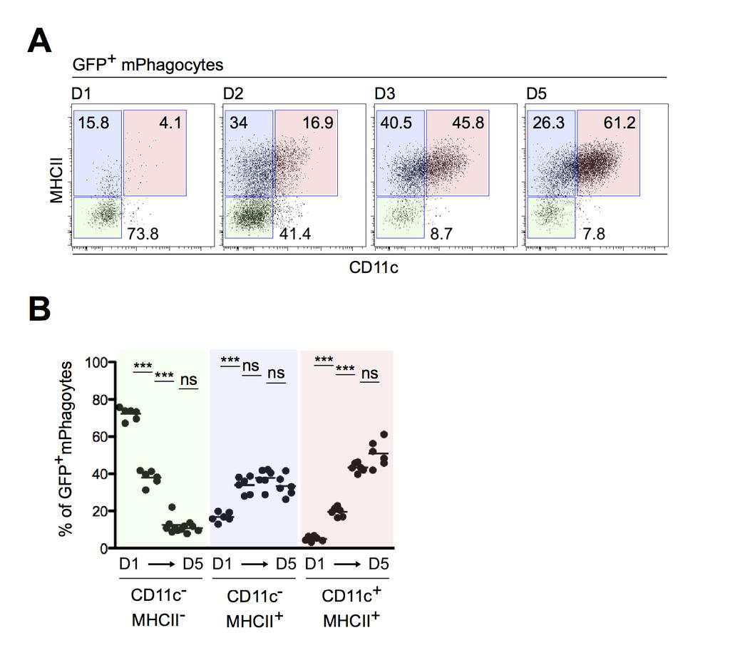 Figure S3. Tracking the fate of recruited phagocytes at the site of infection: MHC class II and CD11c expression. C57BL/6 mice were infected with DsRed-expressing L. major parasites in the ear dermis.