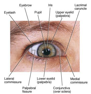Eyelashes & Eyebrows Eyeball = 1 inch diameter 5/6 of Eyeball inside orbit & protected Eyelashes & eyebrows help protect from