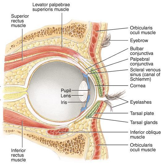 Extraocular Muscles Six muscles that insert on the exterior surface of the eyeball Innervated by CN III, IV