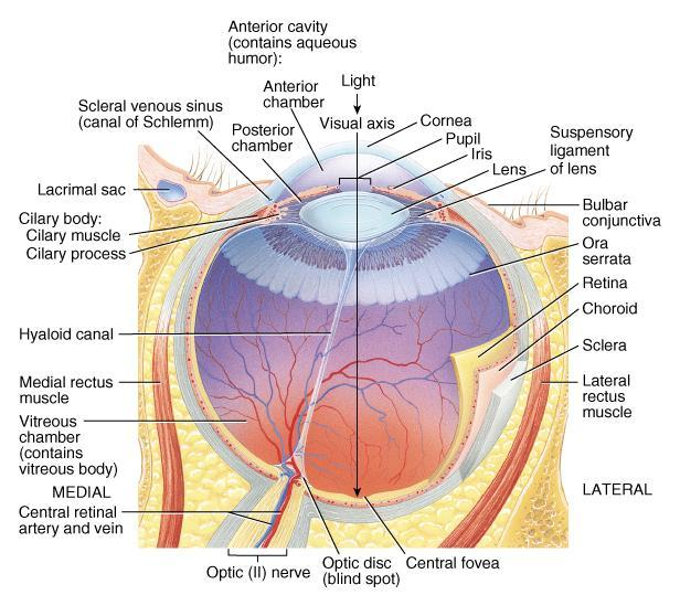 Tunics (Layers) of Eyeball Fibrous Tunic (outer layer, cornea and