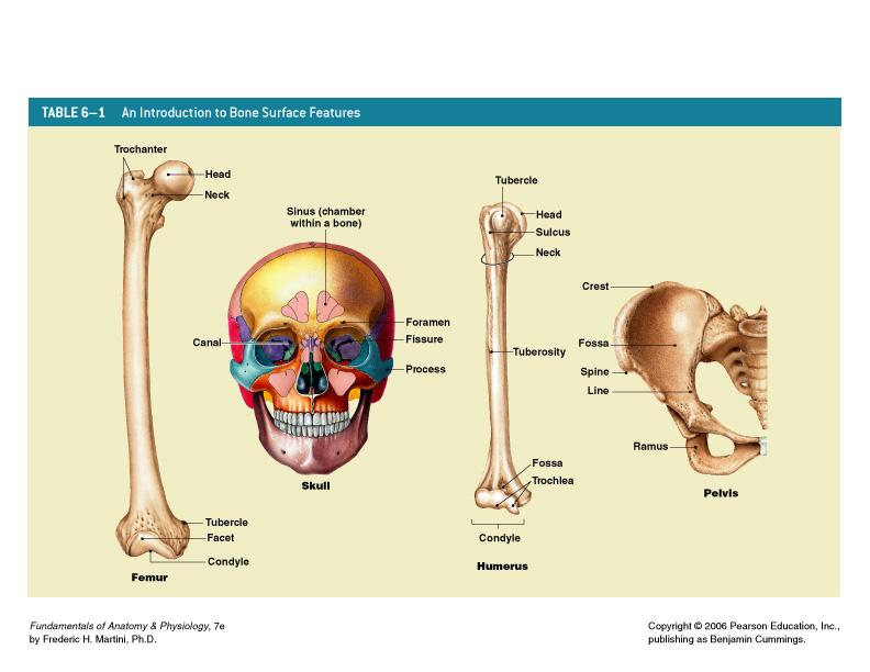 Ausgezeichnet Fundamentals Of Anatomy And Physiology Martini 7th ...