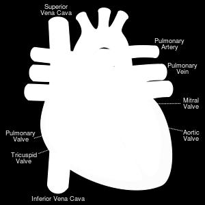 large arteries are attached to the