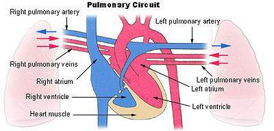 Two Types of Circulation Pulmonary circulation-the flow of blood from the heart to the lungs and back to the hear through the pulmonary