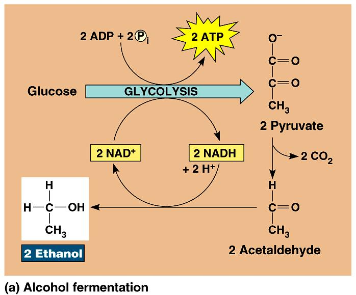 alcohol fermentation: performed by yeast; used in brewing and winemaking.