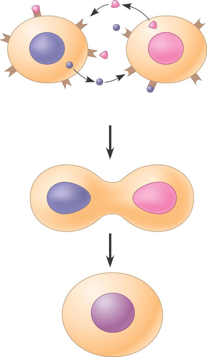 Evolution of Cell Signaling Yeast cells Identify their mates by cell signaling 1 2 Exchange of mating factors. Each cell type secretes a mating factor that binds to receptors on the other cell type.