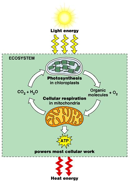 Introduction Photosynthetic organisms store energy in organic molecules.