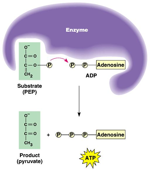 substrate-level phosphorylation generates the few ATP s produced in glycolysis and the Krebs cycle.