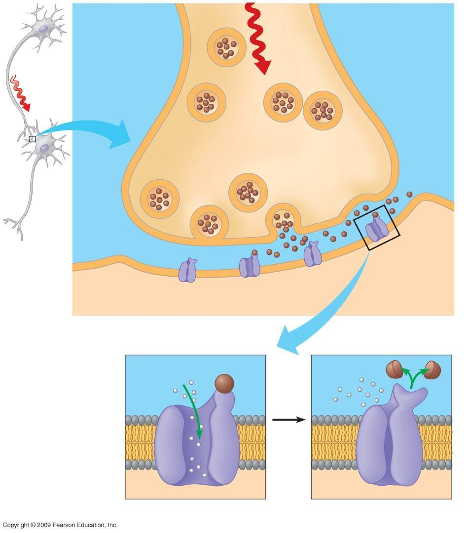 Axon of sending neuron Sending neuron 1 Action Vesicles potential arrives Synaptic terminal 2 Vesicle fuses with plasma membrane 3 Neurotransmitter is released into synaptic cleft Synapse Synaptic