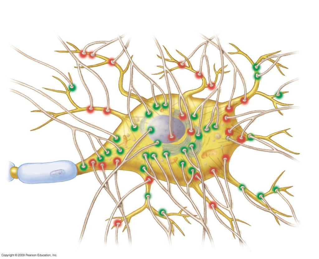 Synaptic terminals Dendrites Inhibitory