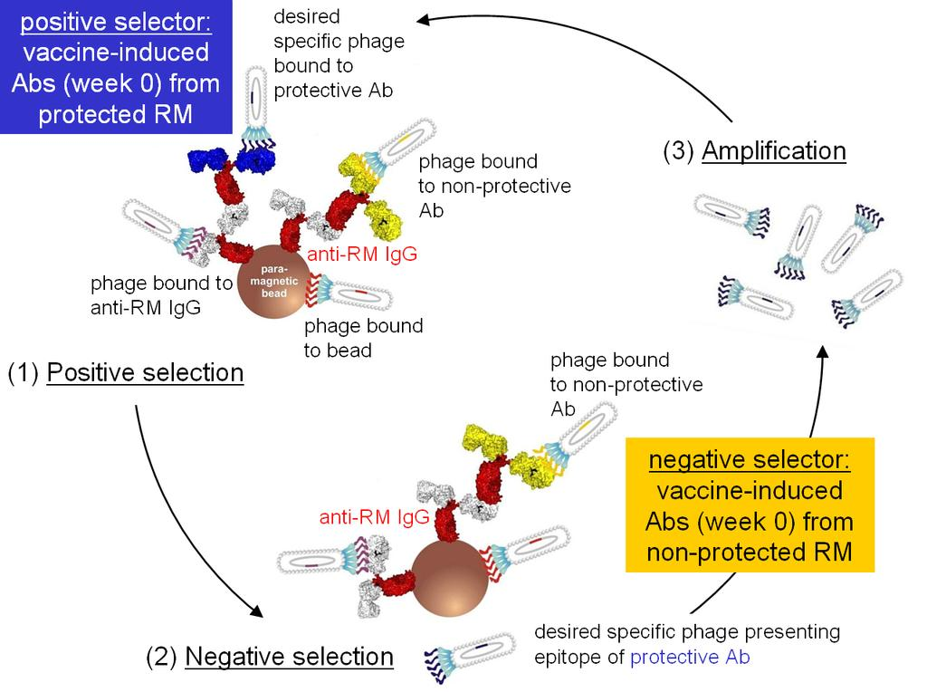 Protection-linked Biopanning to Identify Ab Epitopes Associated with Vaccine Success: No Bias 1 PL biopanning is independent of the mechanism(s) by which