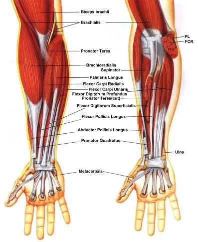 Overview of the Human Arm Anatomy - PDF