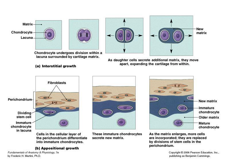 Supporting Connective Tissue Cartilage: Growth and