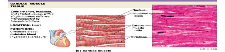 Muscle Tissue I. Function II. Types A. Skeletal muscle B. Cardiac muscle C.